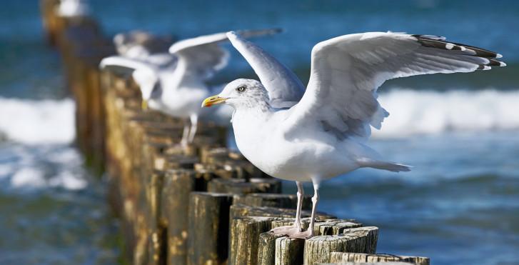 Goélands, Mer Baltique