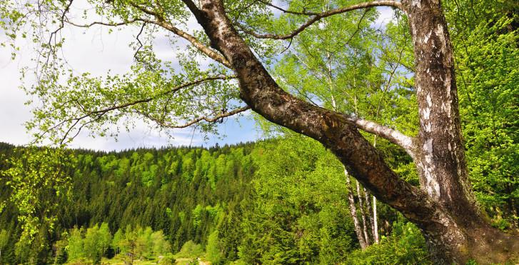 La forêt bavaroise en été