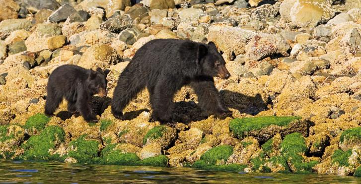 Schwarzbären, Tofino