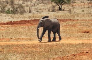 Safari à Tsavo
