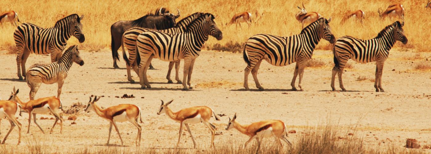 Zebras und Antilopen bei Sonnenuntergang in Etosha, Namibia