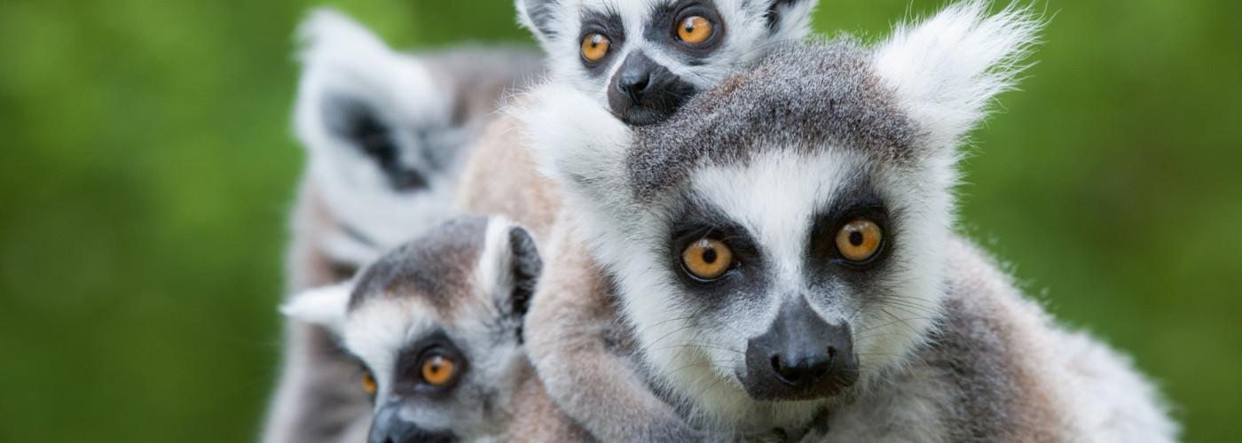 Lémurs catta - Madagascar