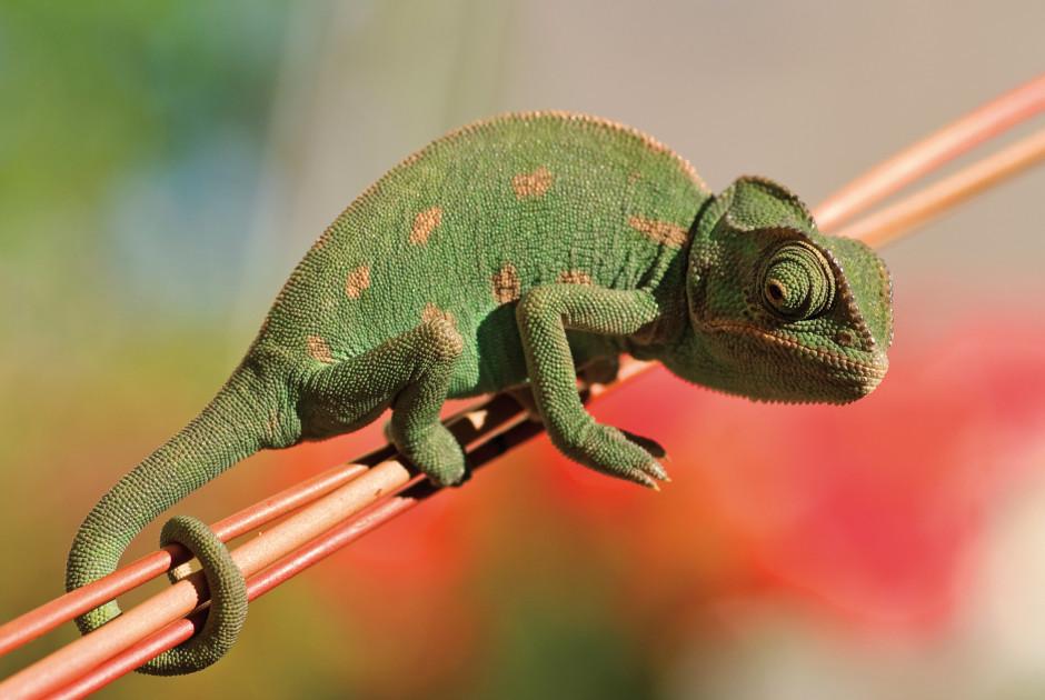 Chamäleon - Madagaskar