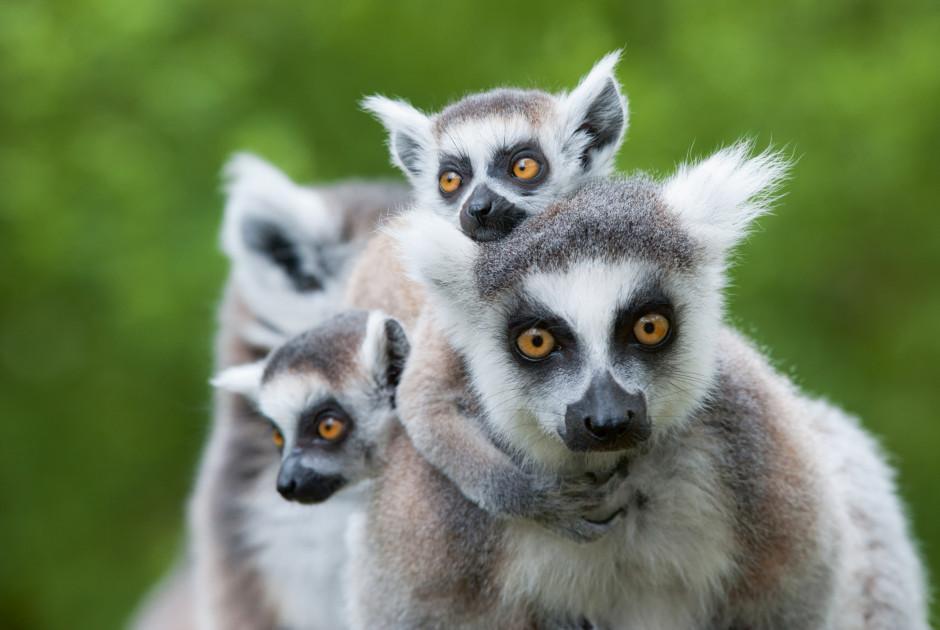 Katta Lemuren
