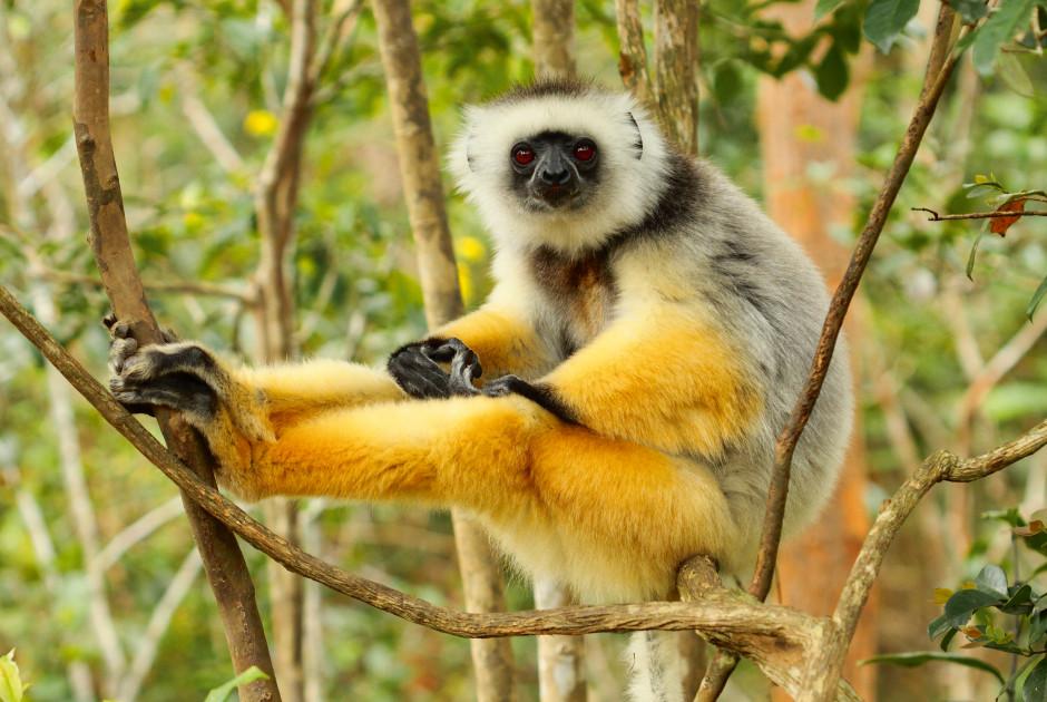 Diademsifaka Lemur - Madagaskar