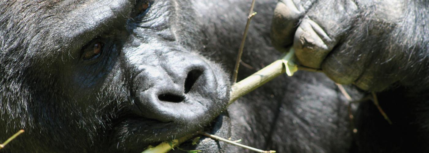 Gorille de montagne au Rwanda