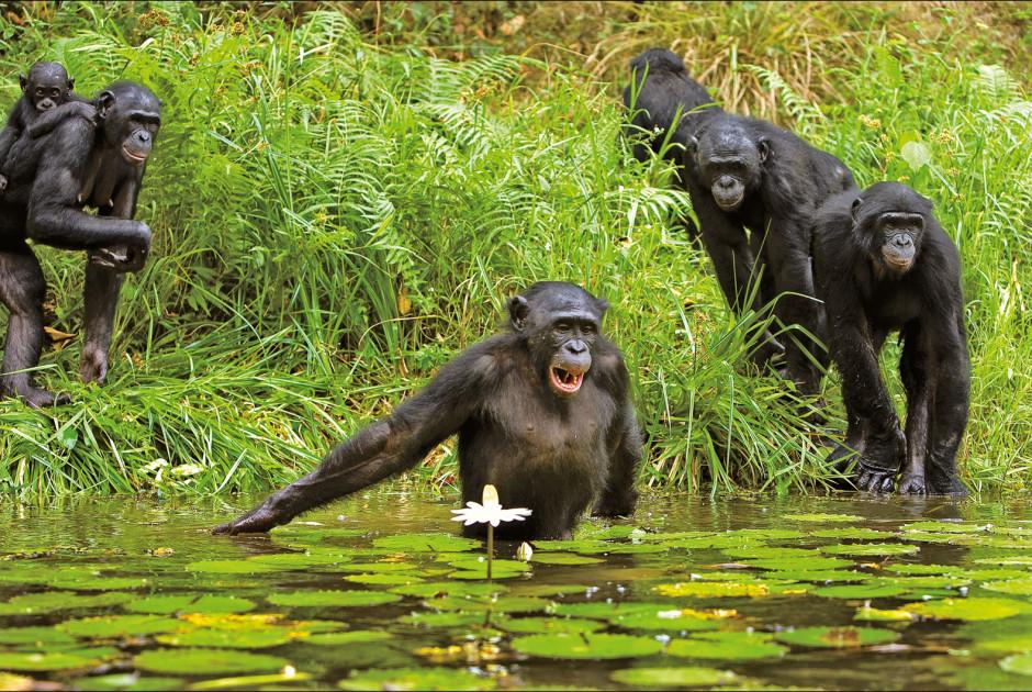 Schimpansen-Familie