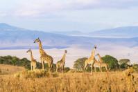 Troupeau de girafes sur le bord du cratère du Ngorongoro - Tanzanie