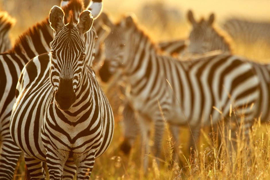 Zebras im Morgenlicht