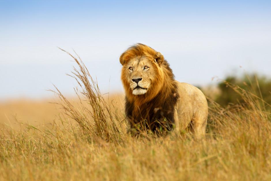 Löwe in Savannen-Landschaft