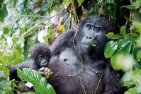 Gorilla mit Baby im Dschungel - Uganda