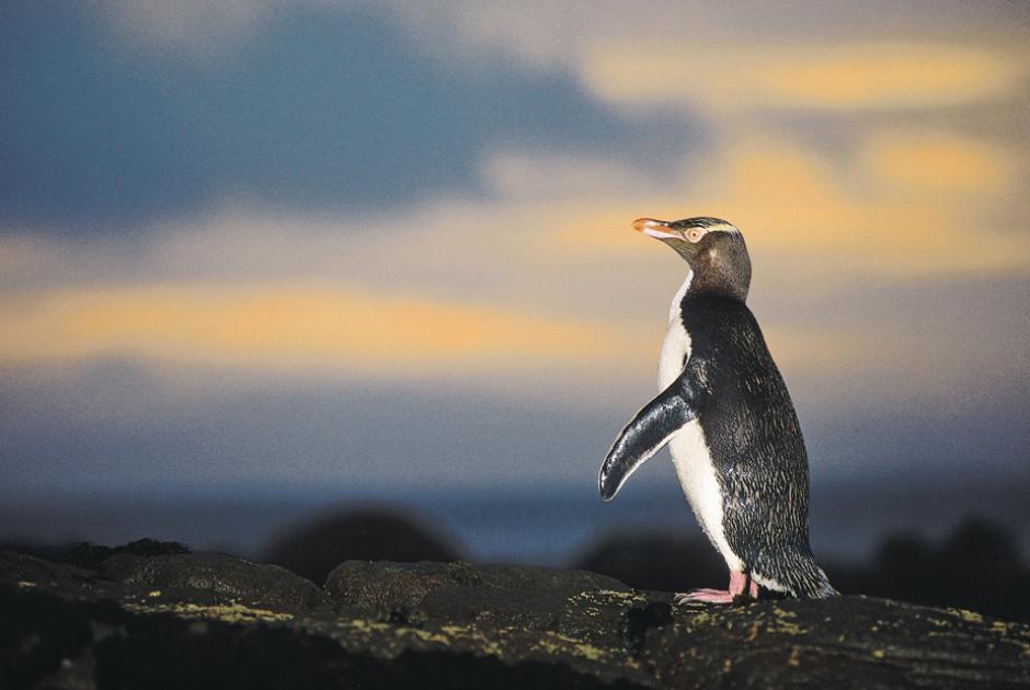 Fiordland-Pinguin