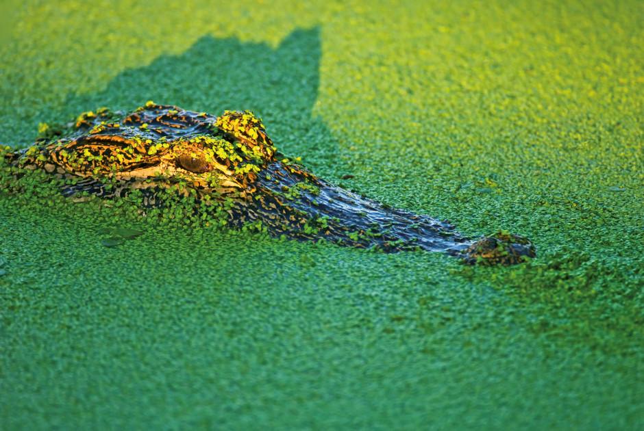 Alligator in den Everglades