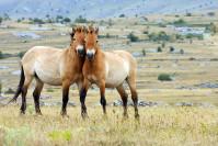 chevaux sauvages à Przewalski