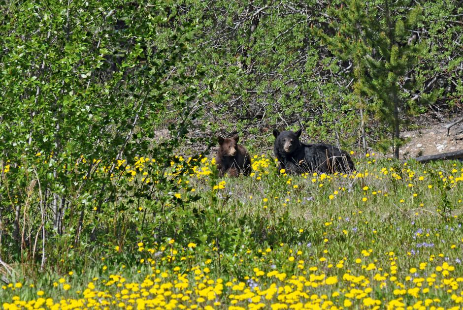 Bären bei Carcross