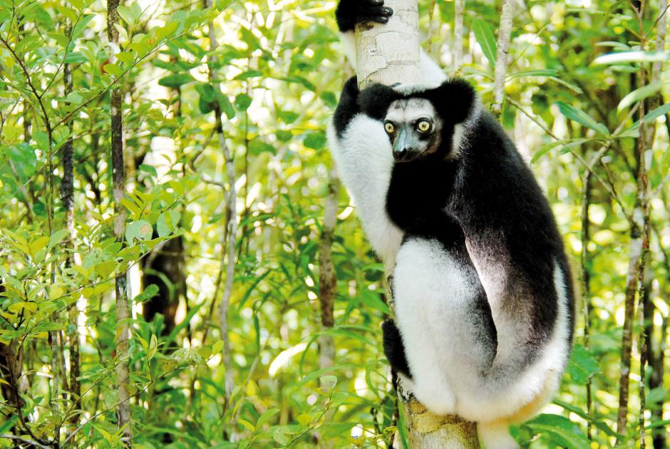 Indri Lemur - Madagaskar
