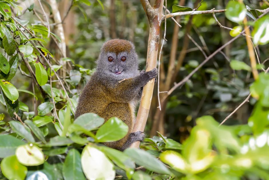 Goldener Bambuslemur - Madagaskar