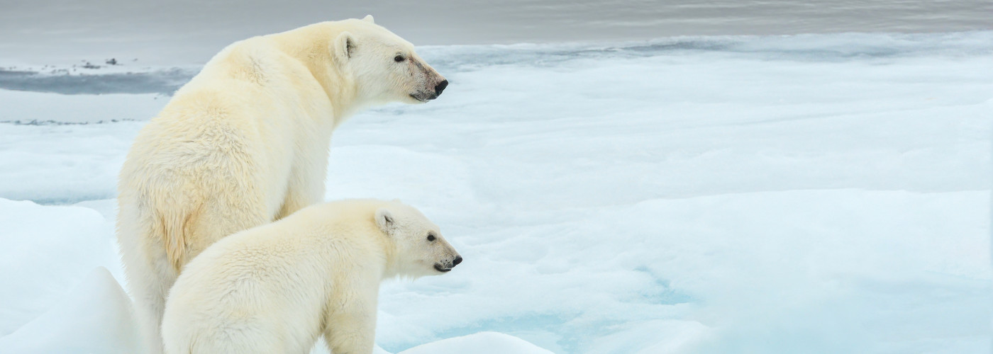 Eisbärenmutter mit ihrem Jungen auf Eisschollen
